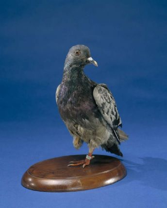 Stuffed carrier pigeon, Cher Ami